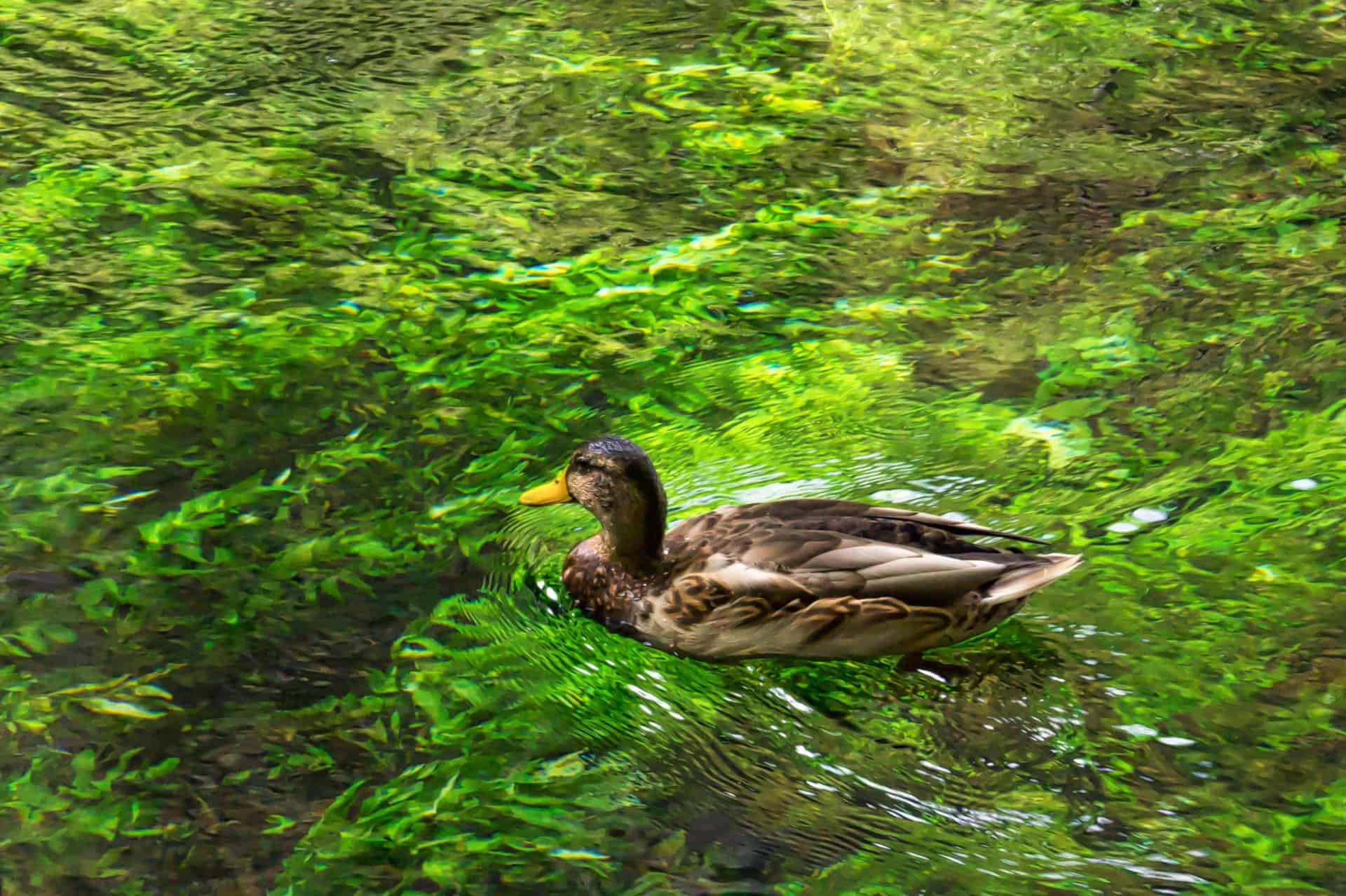 Duck, Fontaine-de-Vaucluse, France -01081
