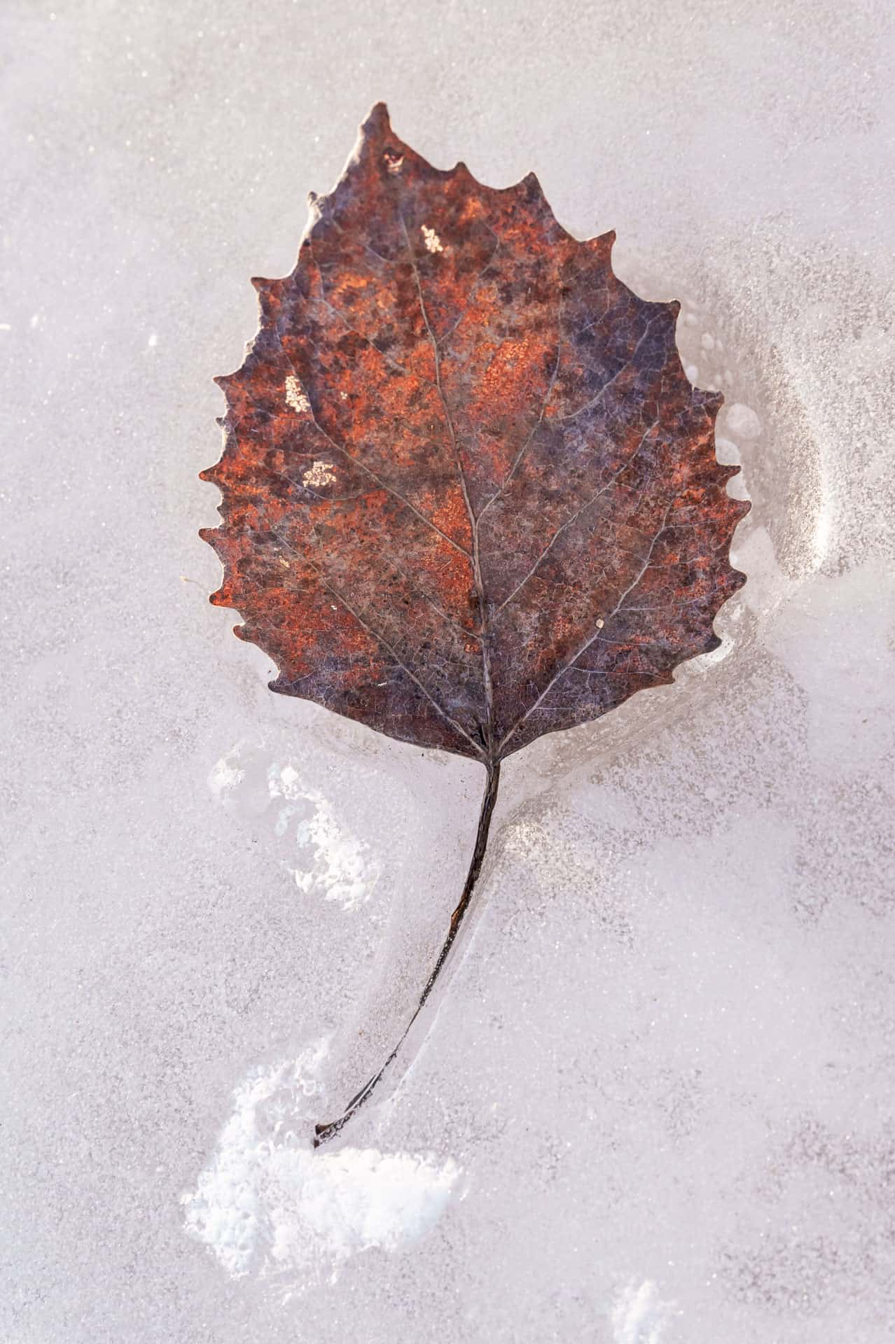 Leaf in ice -1883