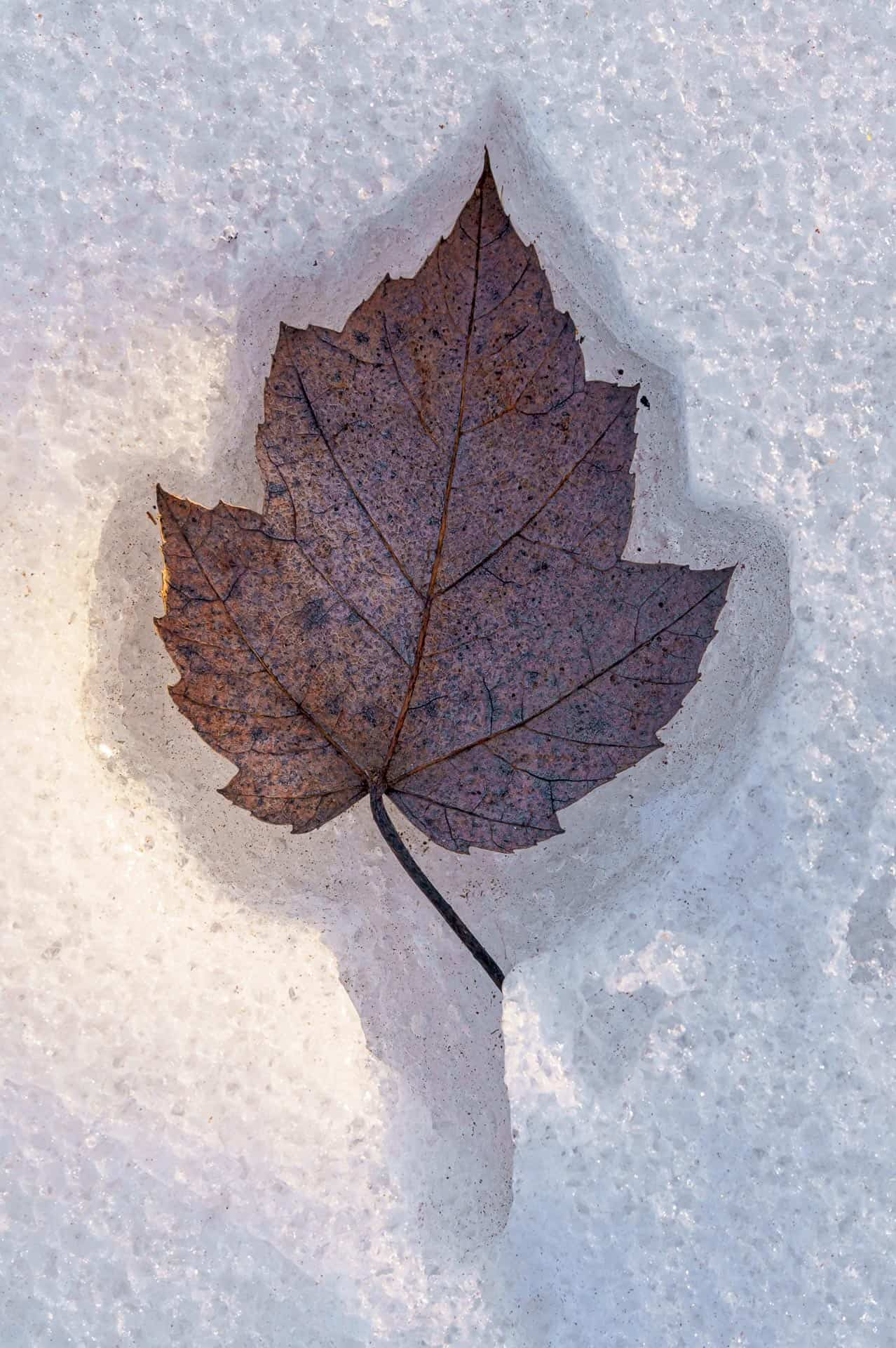 Leaf in ice -1887