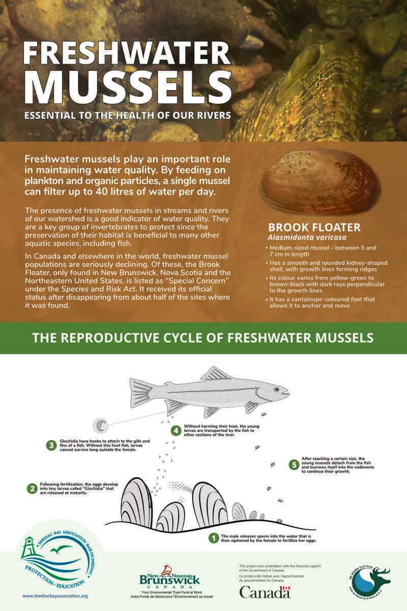 Freshwater mussels poster - Research, co-writing, design and illustration